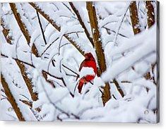 Cardinal In The Snow Acrylic Print by Barry Jones