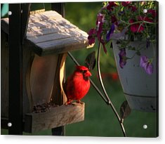 Acrylic Print featuring the photograph Cardinal by Judy Via-Wolff