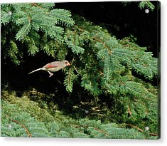 Acrylic Print featuring the photograph Cardinal Just A Hop Away by Thomas Woolworth