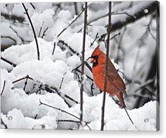 Cardinal Male 3669 Acrylic Print by Michael Peychich
