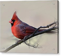 Cardinal On Gray Acrylic Print