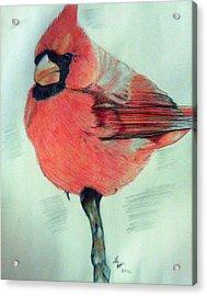 Cardinal Study Acrylic Print by Loretta Nash