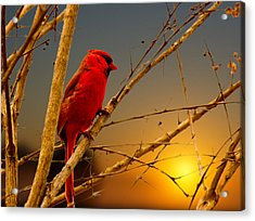 Cardinal Sunrise Acrylic Print by Barry Jones