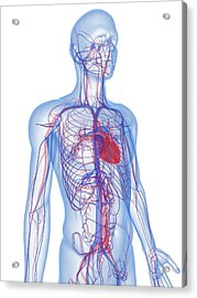 Cardiovascular System, Artwork Acrylic Print by Sciepro