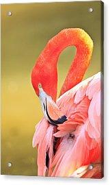 Caribbean Flamingo Phoenicopterus Rube Acrylic Print by Stuart Westmorland