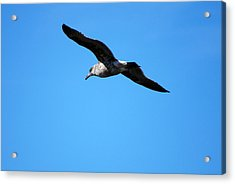 Acrylic Print featuring the photograph Carmel Bird In Flight by Harvey Barrison