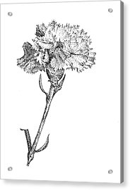 Carnation Acrylic Print by Christy Beckwith