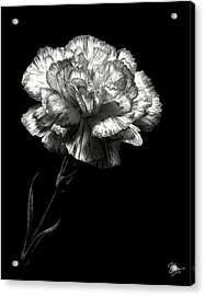 Carnation In Black And White Acrylic Print