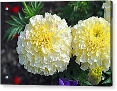 Acrylic Print featuring the photograph Carnations by Tikvah's Hope