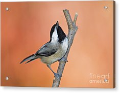 Carolina Chickadee - D007814 Acrylic Print by Daniel Dempster