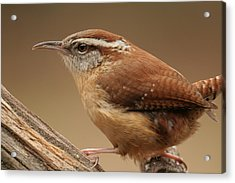 Acrylic Print featuring the photograph Carolina Wren by Daniel Reed