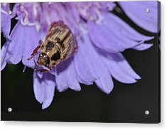 Carpet Beetle On Stokes Aster Acrylic Print