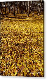 Carpet Of Aspen Leaves Acrylic Print