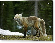 Cascade Red Fox Acrylic Print by Bob Gibbons