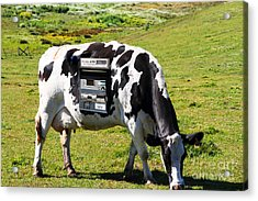 Cash Cow . 7d16140 Acrylic Print by Wingsdomain Art and Photography