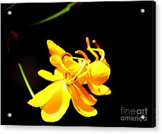 Cassia Blossom Acrylic Print by Theresa Willingham
