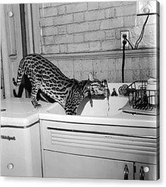 Cat At The Tap Acrylic Print by Sherman