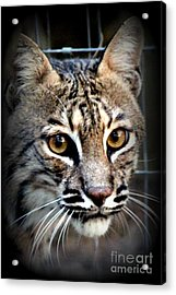 Cat Fever Acrylic Print by Kathy  White
