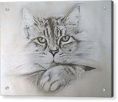 Cat I. Acrylic Print by Paula Steffensen