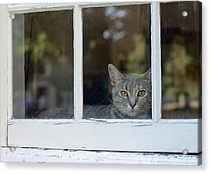 Cat In The Window Acrylic Print by Lisa Phillips