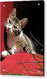 Cat On Red Acrylic Print by Inga Smith