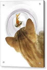 Cat Peering Into Fishbowl Acrylic Print by Darwin Wiggett