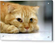 Cat Resting On His Chin Acrylic Print by LeoCH Studio