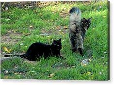Cat Tails Acrylic Print by Cheryl Poland