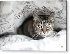 Cat Under In Blankets Acrylic Print