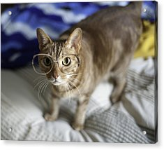 Cat With Glasses Acrylic Print by Www.sharp-photo.com