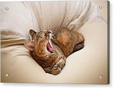 Cat Yawn On Bed Acrylic Print by Junku