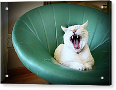 Cat Yawning In A Vintage Blue Green Chair Acrylic Print by Carrie Anne Castillo