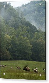 Acrylic Print featuring the photograph Cataloochee Elk by Carrie Cranwill