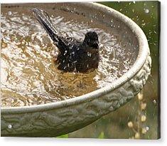 Catbird Bath - 2 Acrylic Print