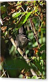 Catbird Acrylic Print