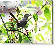 Acrylic Print featuring the photograph Catbird With Berry II by Mary McAvoy