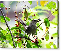 Acrylic Print featuring the photograph Catbird With Berry IIi by Mary McAvoy