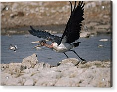 Catch-as-catch Can Is Etoshas Acrylic Print by Des &Amp Jen Bartlett