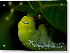 Caterpillar  Acrylic Print