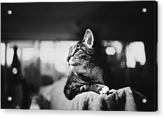 Cats Portrait Acrylic Print by Sumit Mehndiratta