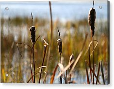 Cattails Acrylic Print by Brady D Hebert