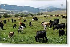 Cattle Country Acrylic Print by Daniel Dodd