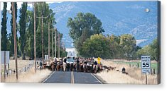 Acrylic Print featuring the photograph Cattle Drive 2 by Gary Rose