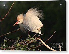 Cattle Egret Display Acrylic Print