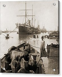 Cattle In A Small Boat Destined Acrylic Print by Everett