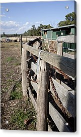 Acrylic Print featuring the photograph Cattle Race. by Carole Hinding