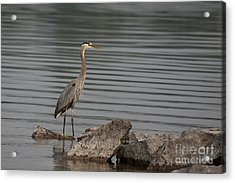 Acrylic Print featuring the photograph Cautious by Eunice Gibb
