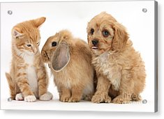 Cavapoo Pup, Rabbit And Ginger Kitten Acrylic Print