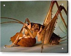 Cave Cricket Feeding On Almond 9 Acrylic Print by Douglas Barnett