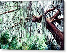 Cedar Draped In Spanish Moss Acrylic Print by Thomas R Fletcher
